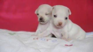 Эксклюзивные щенки русского тоя белого окраса