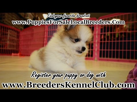 TCUP POMERANIAN PUPPIES FOR SALE IN GEORGIA PUPPY BREEDERS