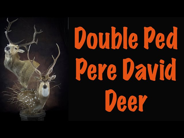 Pere David Deer, Part 3 of 5.... Installing antlers , eyes and facial clay work. Art of Taxidermy
