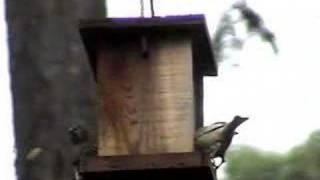 Leucistic House Finch