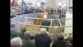 Halls sale of Pedigree South Devon Cattle at Shrewsbury Auction Centre