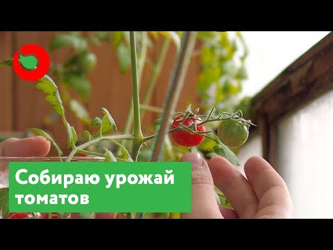 Вкусны ли помидоры выращенные в домашних условиях? Выращивание томатов на подоконнике