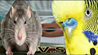 MOUSE PROBLEMS FOR BUDGIES AND SOLUTION| URDU/ HINDI