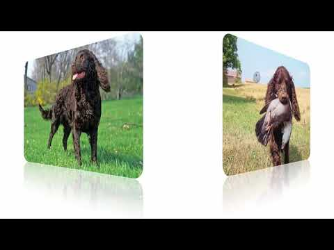 American Water Spaniel – Dogs Breed Usa