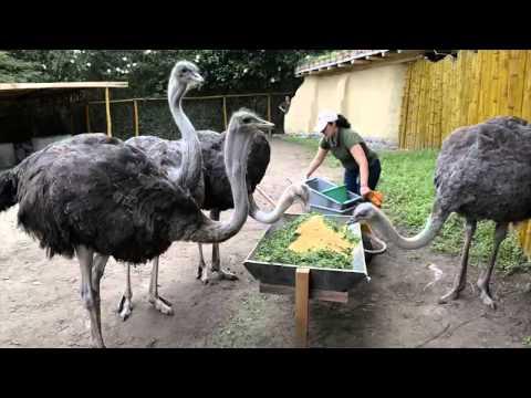 respuestas para avestruz africana