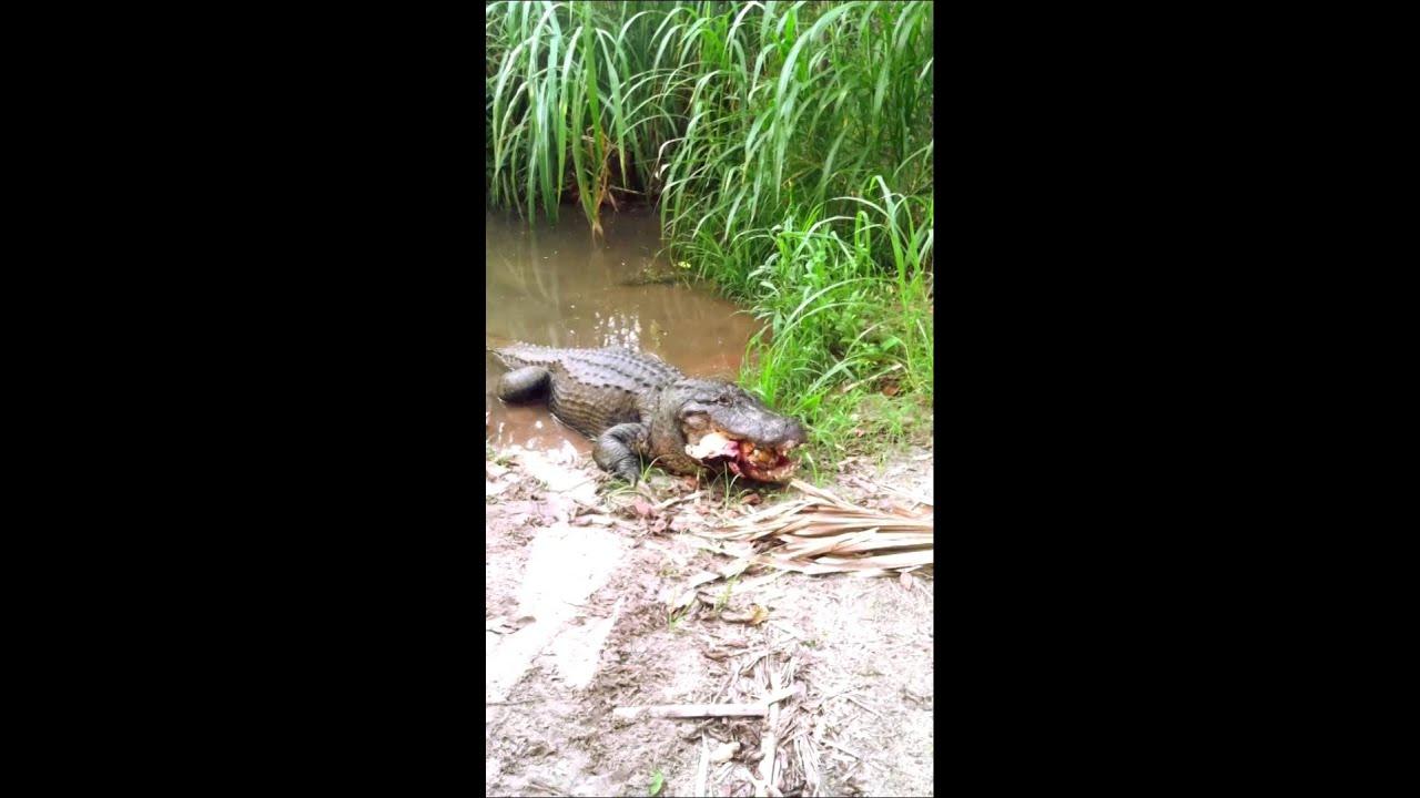 maxresdefault alligator eats a huge turtle! youtube