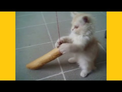 Cat playing with baguette: funny and cute