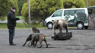 Bullmastiff and Cane Corso vs Bear