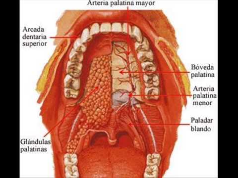 Cavidad oral o bucal TF14 Equipo 4 - YouTube