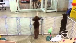 Tańczących pies
