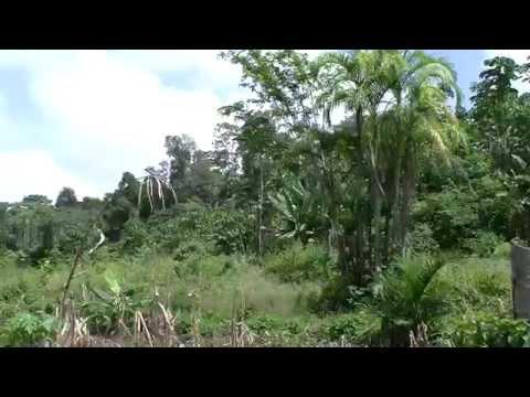 mus ua si XAÜL Guyane française ( French Guiana)