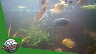 Аквариумные рыбки Гурами/ Aquarium fish gourami
