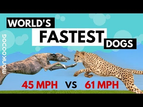 Top 10 Fastest Dog breeds in the World with SPEED COUNT    Cheetah Vs Greyhound    Monkoodog