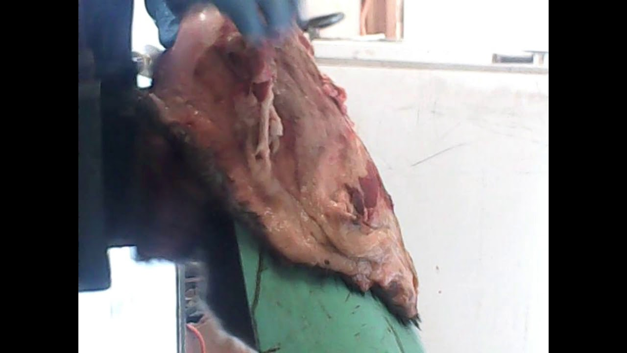 Fleshing A Beaver