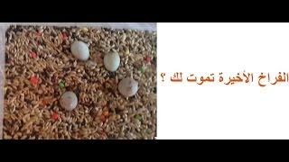 كيف نجعل بيض الحسون والكناري يفقص في يوم واحد لتجنب موت الفراخ الأخيرة -معاذ-