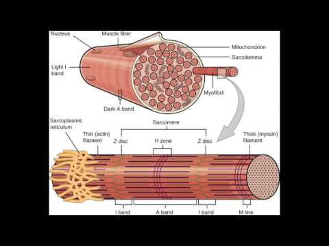 Muscle fiber, Skeletal muscle, and Contraction [USMLE]  YouTube