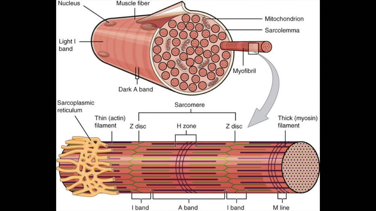Muscle fiber, Skeletal muscle, and Contraction [USMLE] - YouTube