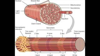 Muscle fiber, Skeletal muscle, and Contraction [USMLE]