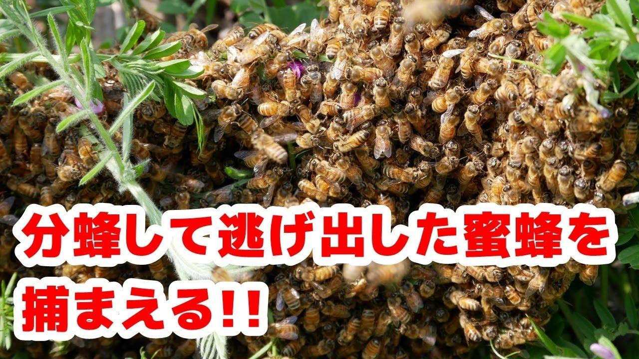 分蜂した蜜蜂の捕獲方法 - YouTube
