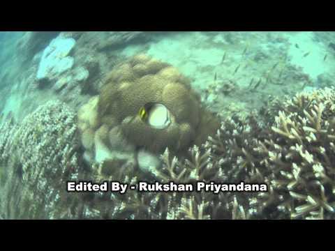 Sri Lankan Marine Fish - 10 (Indian Vagabond Butterflyfish) - ශ්රී ලංකාවේ මුහුදු මත්සයකු වන පනාවා