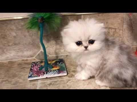 17 07 12 Cute Persian Kitten, Lakota, explores while the others sleep
