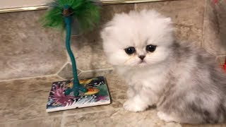 17 07 12 Cute Persian Kitten, Lakota, explores while the others sleep