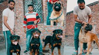 Rottweiler & Bullmastiff Champion Dog Breeds   Show Quality Dogs  
