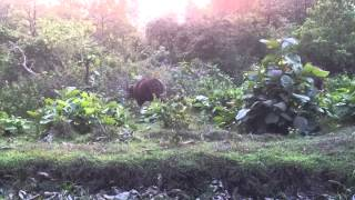 Wild gaur at Tholpetti wildlife sanctuary