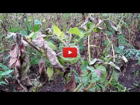 Урожайность картофеля в опасности!!!