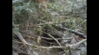 Pixy Une Cairn Terrier Va Dire Bonjour Aux Renards