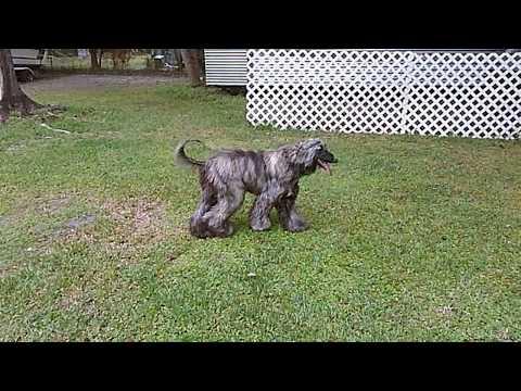 Bella The Afghan Hound