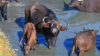 Дикая природа Африки Капские буйволы у водопоя - вчерашние коровки стали грубой скотиной :(