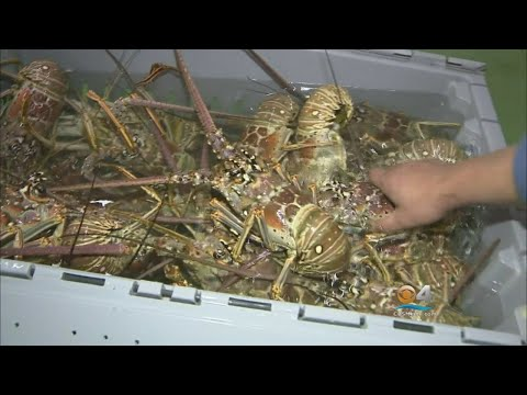 Facing South Florida: The Business Of Lobster Part 2