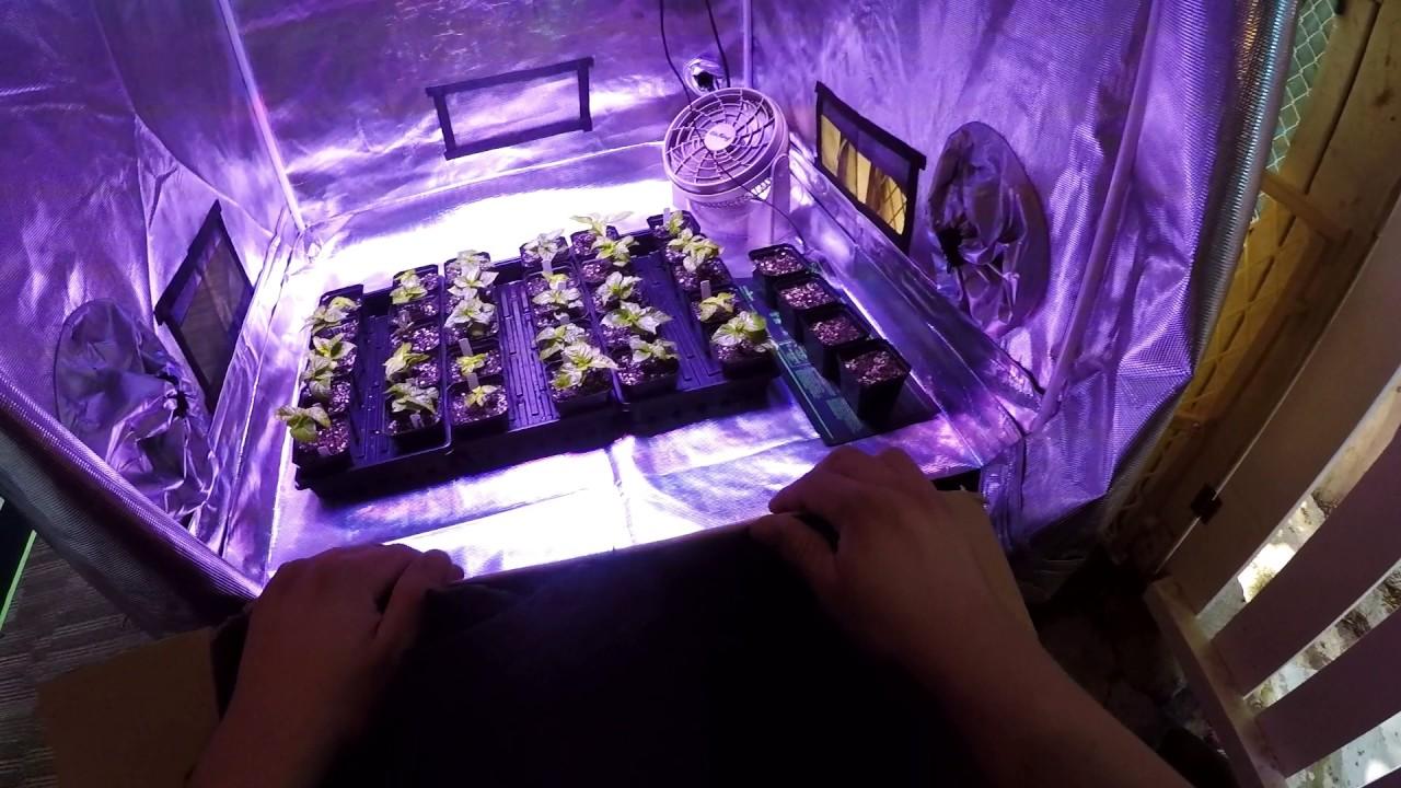 Gorilla Grow Tent 4x4 Amp Kind Led K5 Xl750 Super Hot Pepper Transplant Update Youtube