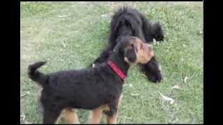 Airedale Terrier Puppy Playing With Black Russian Terrier Puppy