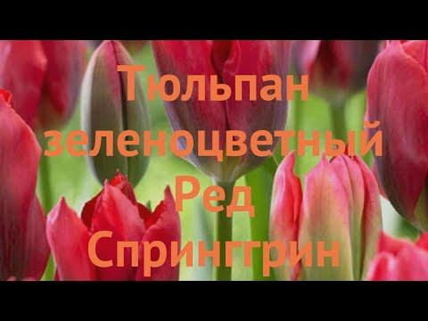 Тюльпан обыкновенный Ред Спринггрин (tyulpan) �� обзор: как сажать, луковицы тюльпаны Ред Спринггрин