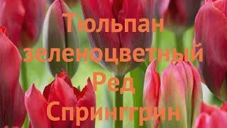 Тюльпан обыкновенный Ред Спринггрин (tyulpan) ???? обзор: как сажать, луковицы тюльпаны Ред Спринггрин