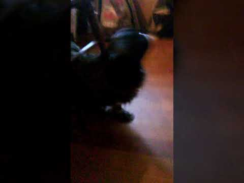 Itchy Dog Scratching Back On Chair