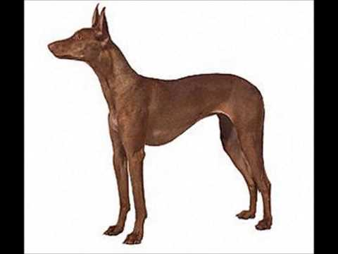 Pharaoh Hound ~ Puppies for Sale, by Pets4You.com