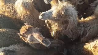 Верблюды Узбекистана. Аяз кала. Camels in Uzbekistan. Ayaz kala.