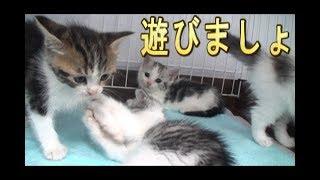 【猫好き】遊びましょ!(マンチカン)《funny cats》