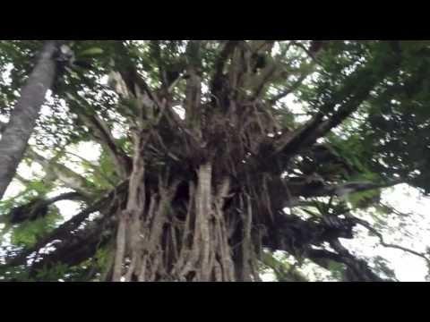 Cathedral Fig Tree, Danbulla