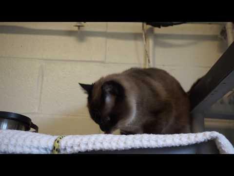 """Mimi"" Siamese Mt Vernon Animal Shelter cat"