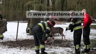 Hert met gewei vast in hekwerk bij hertenkamp in Bloemendaal