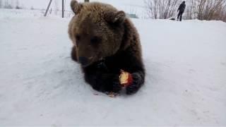 Медведь ест яблоко.