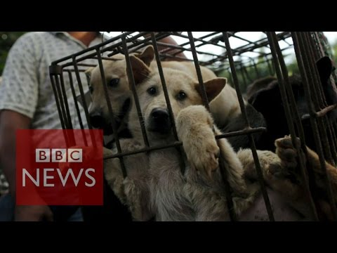 China's Dog Meat Festival - BBC News