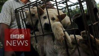 China's dog meat festival - BBC News