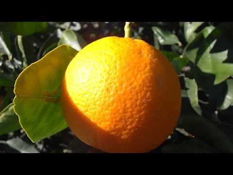 Naranjos cargados de naranjas: Citrus sinensis (www.riomoros.com)