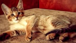 Порода кошек. Чаузи. Самая редкая кошка.В наших странах их разведению никто не занимается.