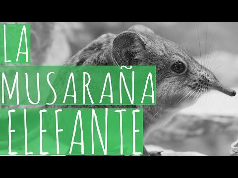 La musaraña elefante / Elephant shrew - MuKi&Mu